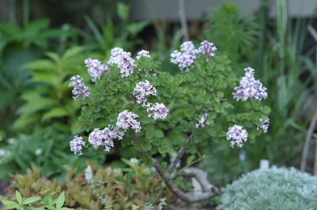 lilac2011509.jpg