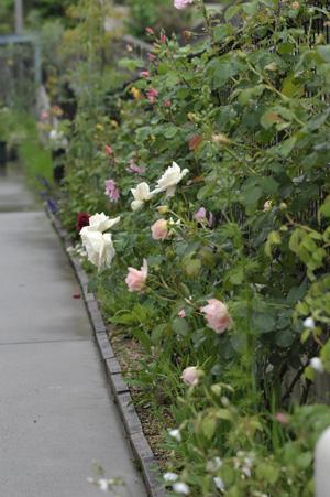 roses2011512.jpg