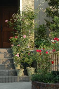 roses2011517-2.jpg