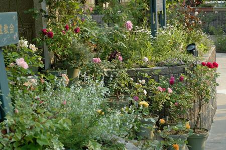 roses2011517-3.jpg