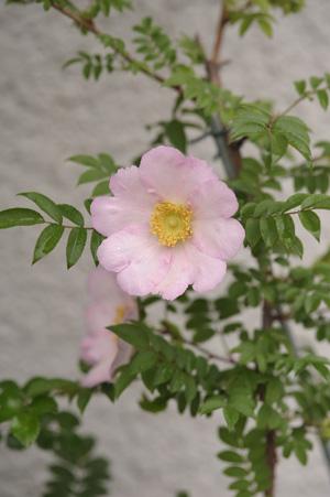 sanshoubara2011511.jpg