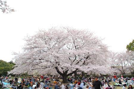 20110410sakura2.jpg