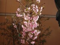 お家の桜も 満開