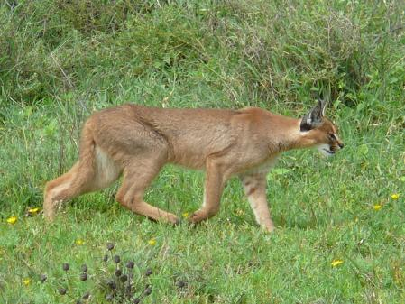 Caracal   nickandmel2006