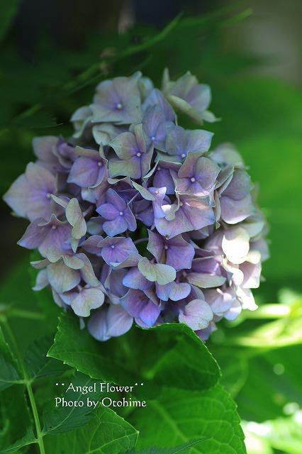 IMG_3942紫陽花