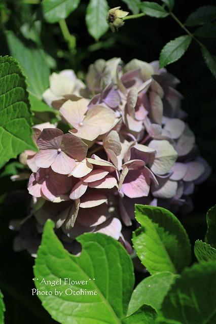 IMG_3944紫陽花