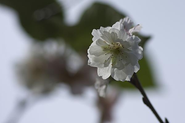 10sakura_1656.jpg
