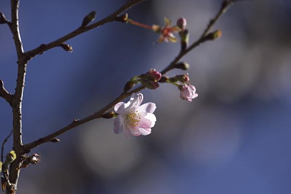fuyuzakura_2046.jpg