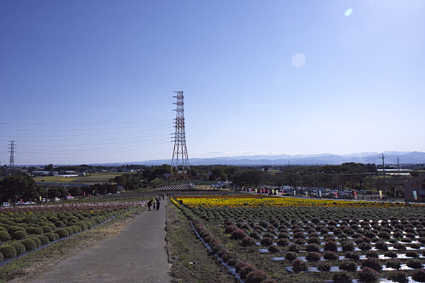 kogiku_1889.jpg