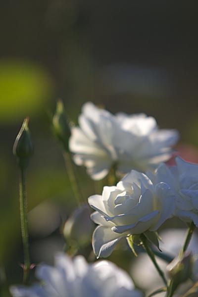 rose_1917.jpg