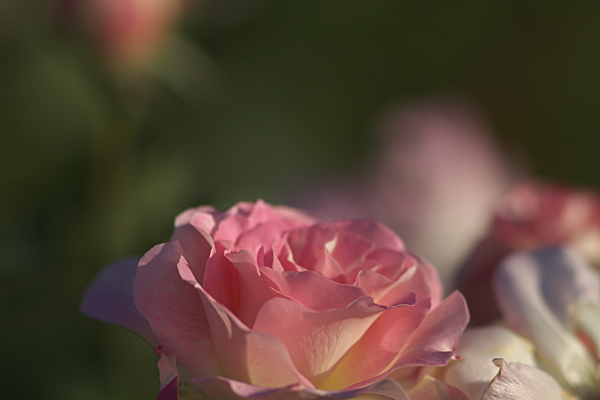 rose_1921.jpg