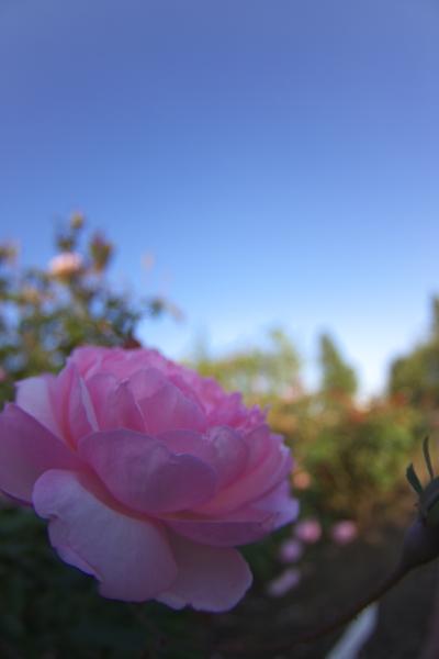 rose_1949.jpg