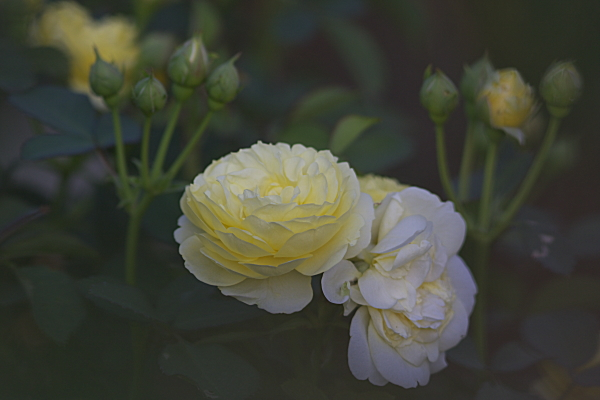rose_1953.jpg