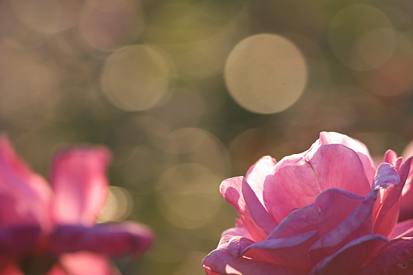 rose_1966.jpg