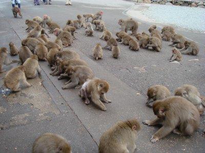 群れるサル
