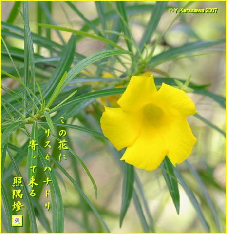 0614黄花夾竹桃