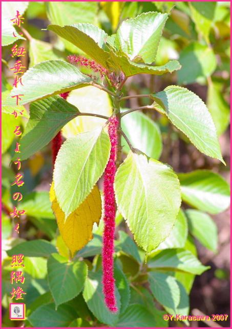 0617紅紐の木