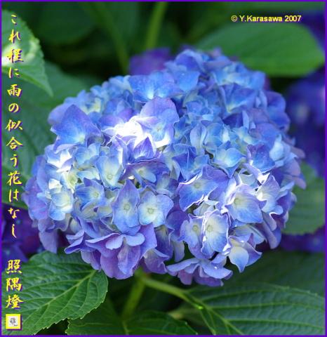 0706紫陽花