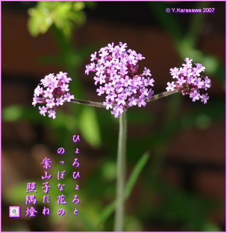 0708柳花笠