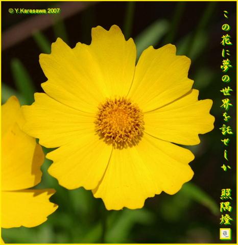 0727金鶏菊