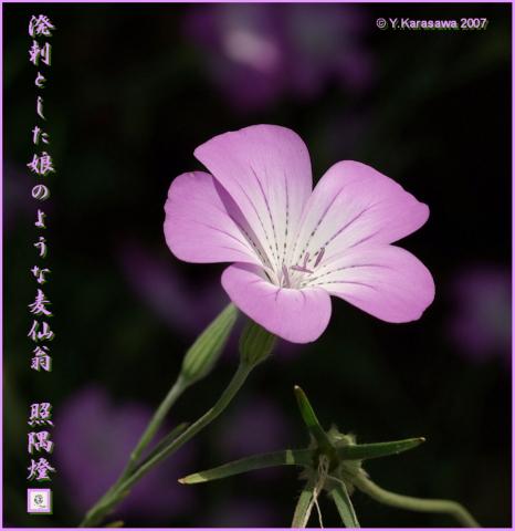0805麦仙翁