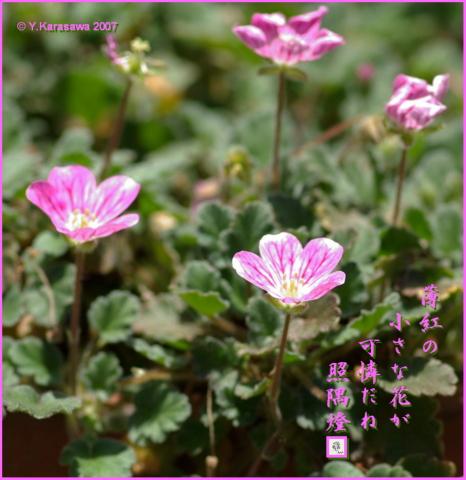 0811紅花姫風露