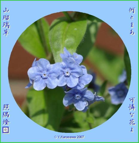 0822山瑠璃草