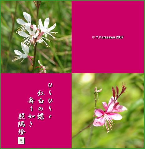 0823白蝶草