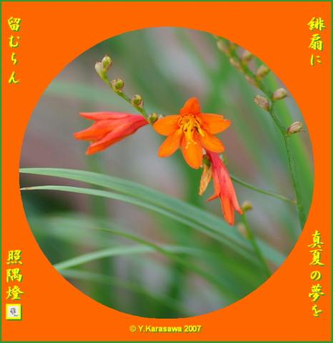 0825姫緋扇水仙