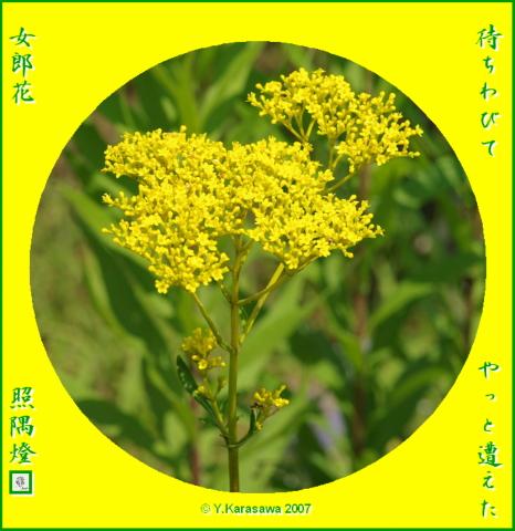 0904女郎花