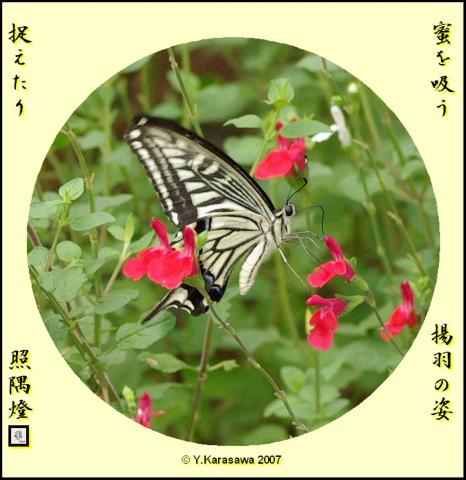 0908揚羽蝶