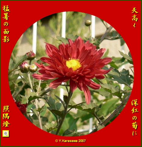 1001菊(深紅)