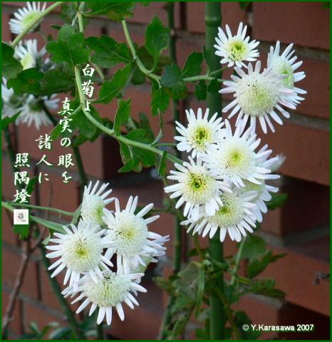 1014白菊