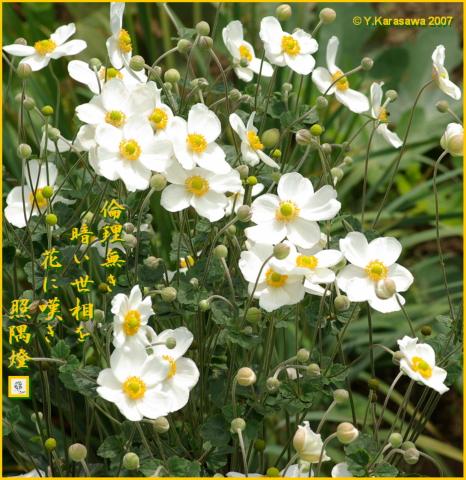 1015秋明菊