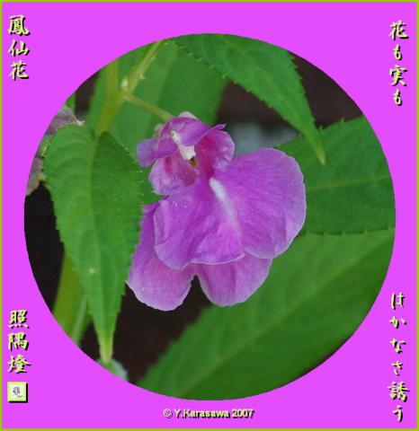 1019鳳仙花