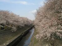 善福寺緑地の桜