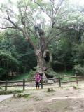 武雄・神社の大楠