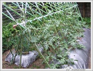 棚づくり吊るし栽培