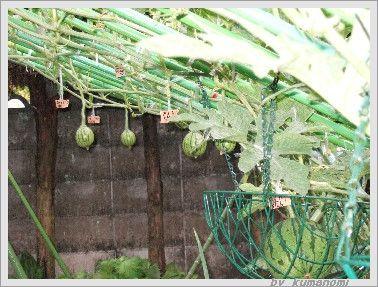 スイカ吊るし栽培