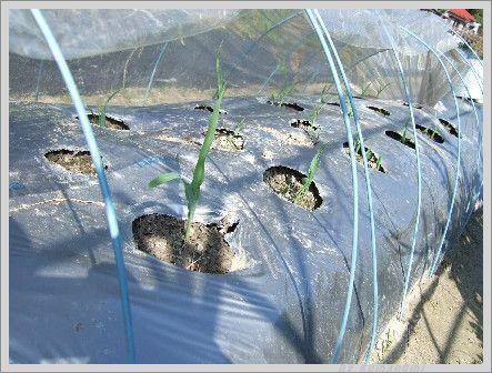 トウモロコシの苗
