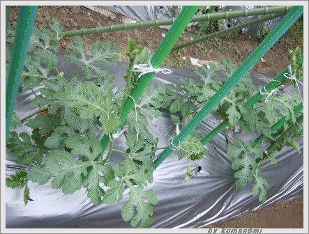 2007スイカ吊るし栽培