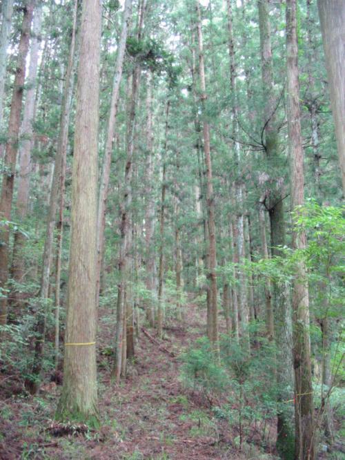 成熟した木