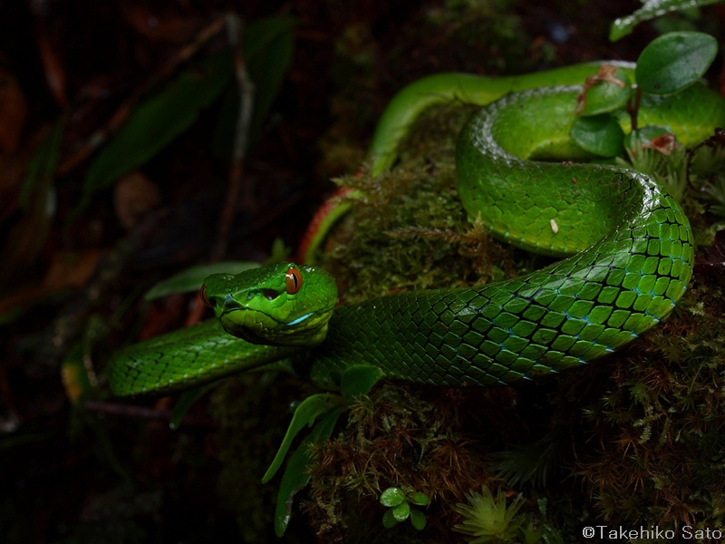 Cameron Highlands pitviper