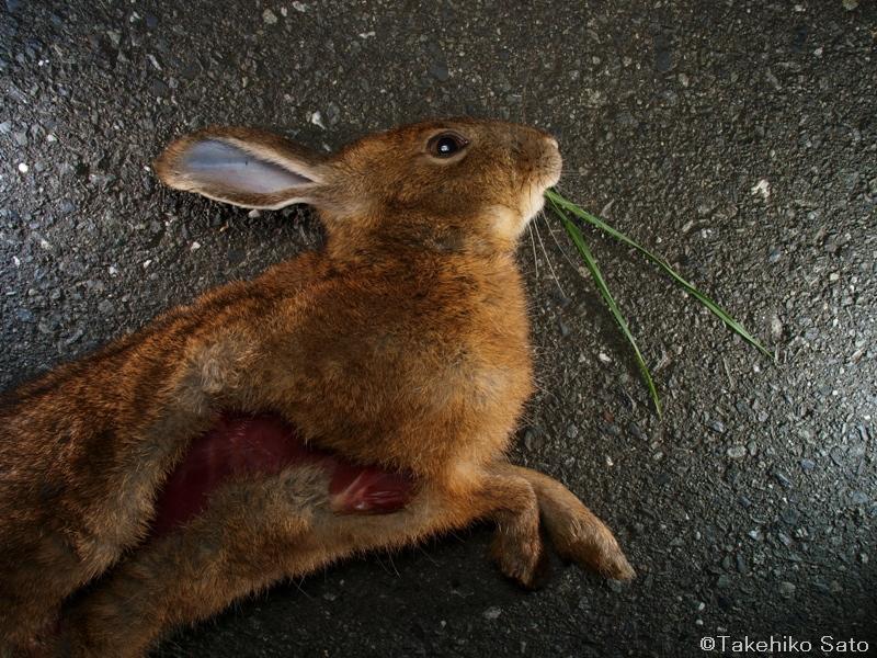キュウシュウノウサギ