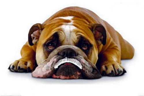 bulldoghadmilk1.jpg