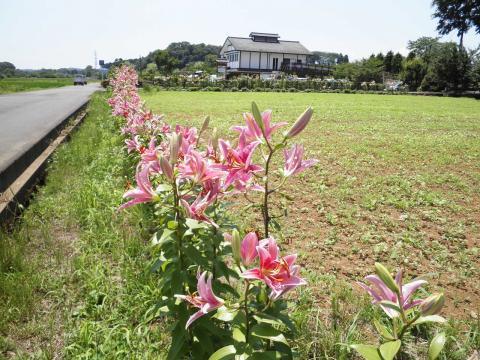 百合の花175