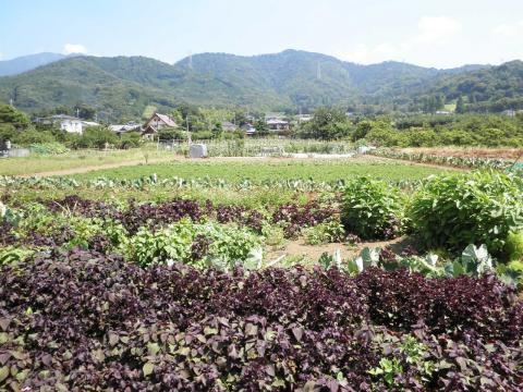 夏野菜畑19