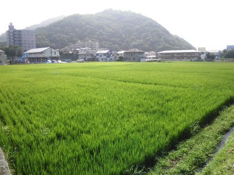 青田と権現山16