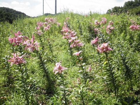 百合の花50