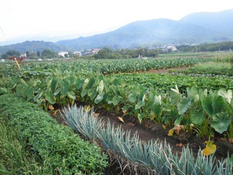 野菜畑18